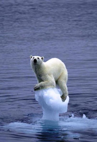 Figura 1 - Nos últimos anos tem aumentado o número de ursos polares que morrem afogados devido à exaustão após se afastarem de seu habitat natural levados por icebergs.